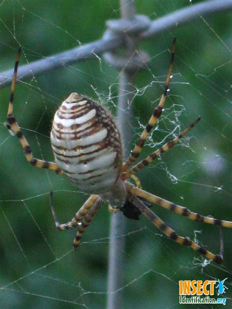 Banded Garden Spider 17 Best Images About Give Me The Creeps On
