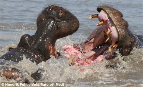 How Mates Vs Flings by Image Gallery Hippopotamus Fighting