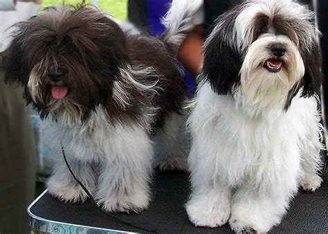 havanese show dogs more pictures of silk puppy photos r havanese