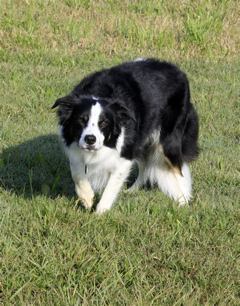 Do Australian Sheep Dogs Shed by 1000 Ideas About Do Australian Shepherds Shed On