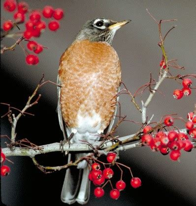 wild birds unlimited what do american robins eat in the
