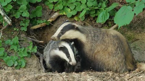 european badger family  badgers stock footage video  royalty   shutterstock