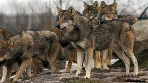 wolf breeds list house bill to take gray wolves washington s endangered species list ncwlife
