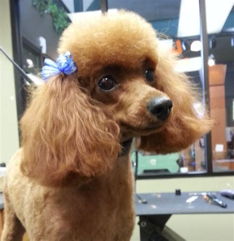miniature french poodle hairstyles 362 best images about poodle grooming on pinterest