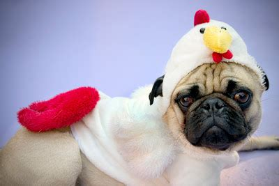 chicken pug in this random rambling thread we post random pictures page 2568