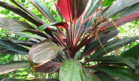 tanaman hias daun  populer outdoor indoor