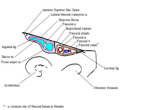 diagram of inguinal canal anatomy and physiology lower extremity femoral canal