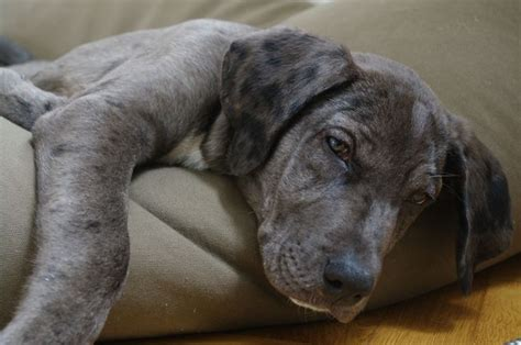 great dane lab mix puppies winston as a puppy great dane lab mix chuchos