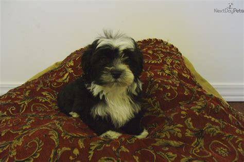 cottonwood havanese havanese puppies for adoption breeds picture
