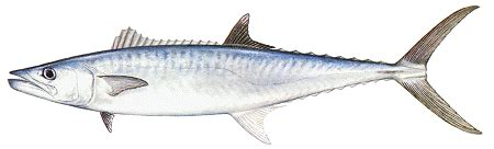 king mackerel coloring pages costa rica fishing picture of king mackerel kingfish