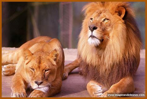 imagenes de leones animales image gallery leones salvajes