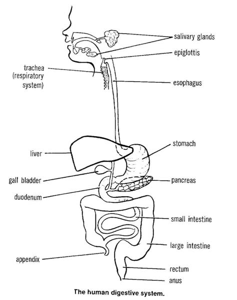 labeled digestive system diagram human digestive system diagram labeled anatomy organ
