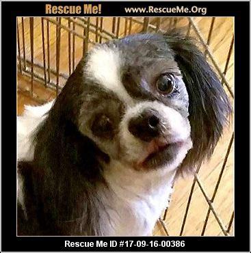 shih tzu rescue colorado colorado shih tzu rescue adoptions rescueme org