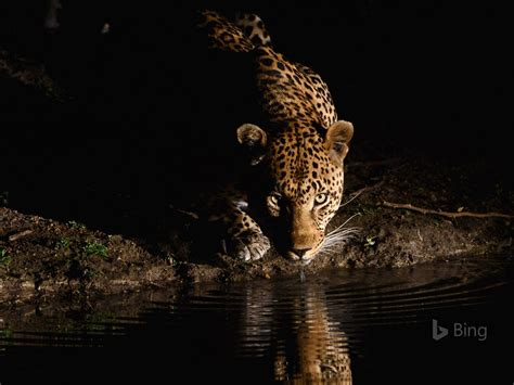 leopard dafrique du sud  bing fond decran apercu