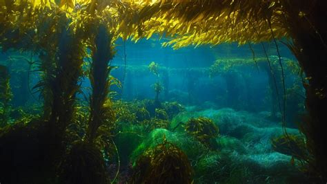 The In The Kelp kelp forest hd www pixshark images galleries with