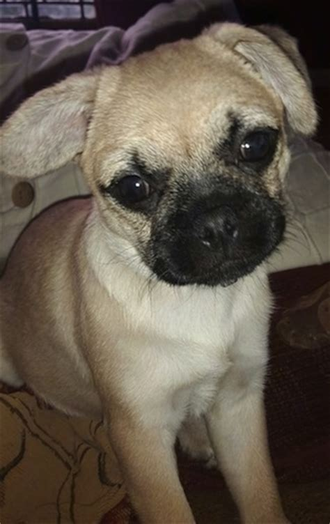 pip the pug pugmatian breed information and pictures