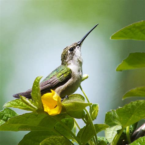hummingbird sitting pretty square photograph by christina