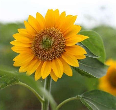 girasoli in vaso girasole coltivazione in orto o in vaso orto da coltivare