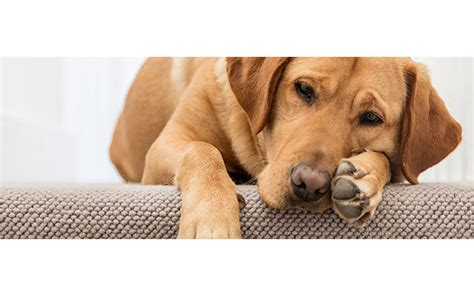 allergies in dogs allergies in dogs cats epetstore south africa