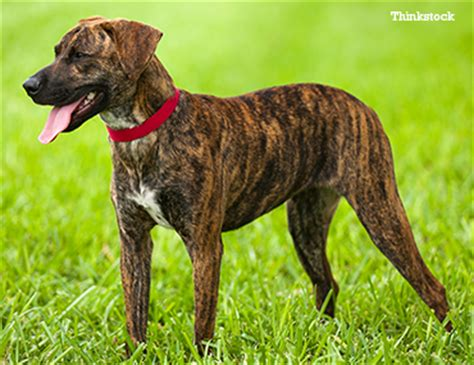 what does a walker hound dog look like the plott hound