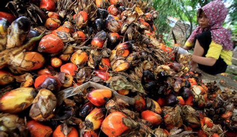 harga tbs kelapa sawit anjlok  sawitnotifcom