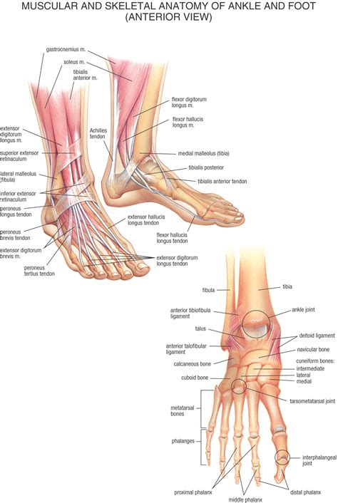diagram of a foot diagram of the foot and ankle anatomy of the foot and
