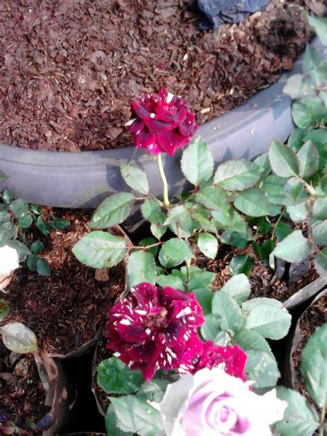 jual pohon mawar  bunga mawar berbagai macam warna