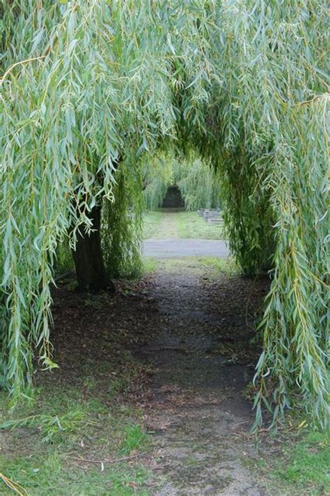 willows and path mural tree tunnel ballynoe county ireland reminds me of a path i walked in