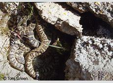 Great Basin Rattlesnake - Crotalus oreganus lutosus Western Diamondback Rattlesnake Head