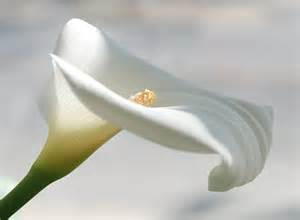 the calla lily la calla little cloudy dreams