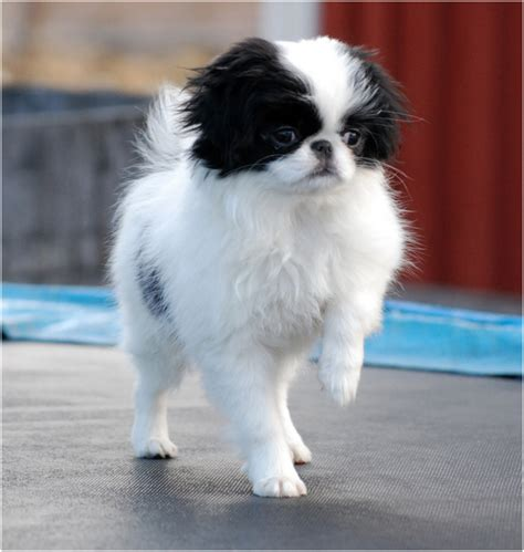 japanese chin puppies breeders facts pictures