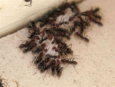 get rid of ants in house homemade ant killer