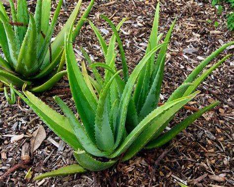 Tas Alovera Set Dompet 9023cc gardensonline aloe vera syn a barbadensis