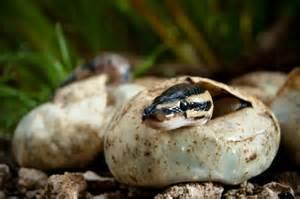 python boa et anaconda les serpents g 233 ants pratique fr