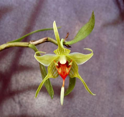 Dendrobium Tobaense iospe photos