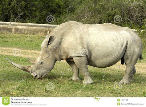 imagenes rinoceronte blanco rinoceronte blanco fotos de archivo imagen 14121183