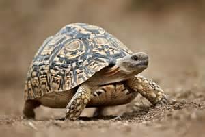 jhp blog april 2 2013 leopard tortoise leopard and