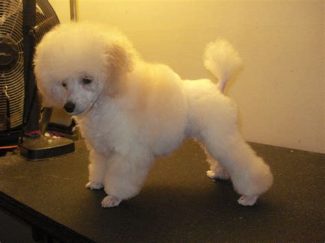 toy poodle haircuts pictures toy poodles haircuts haircuts models ideas