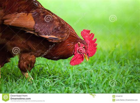 eats grass free range chicken grass stock photo image 61940781