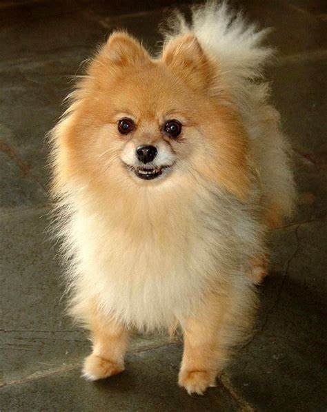 pomeranian haircuts pictures teddy cut pomeranian breeds picture
