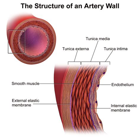 cross section of an artery file blausen 0055 arterywallstructure png wikimedia commons