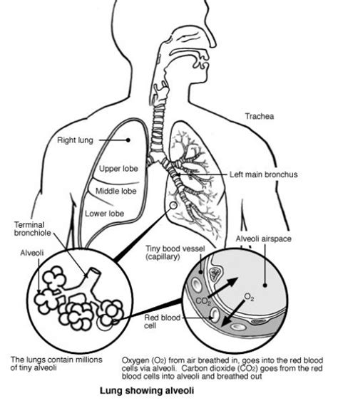 where are your lungs located in your diagram diagram of the lungs tutorvista