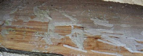 hout verouderen met ammoniak vergrijzen van hout