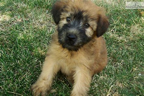 wheaten terrier puppy soft coated wheaten terrier puppy for sale near springfield missouri eecd5ef3 1d41