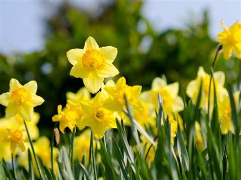 Ideas For Daffodil Varieties Design The Best Daffodil Varieties That Bloom All Saga