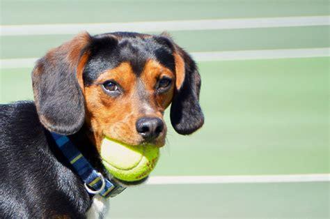 Bola Pijat Stretch Untuk Anjing 8 hotel berfasilitas mewah untuk hewan peliharaan