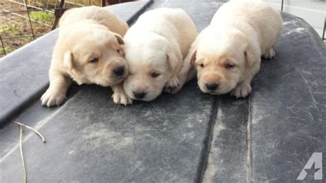 american lab puppies for sale yellow lab puppies for sale for sale in luverne alabama classified americanlisted