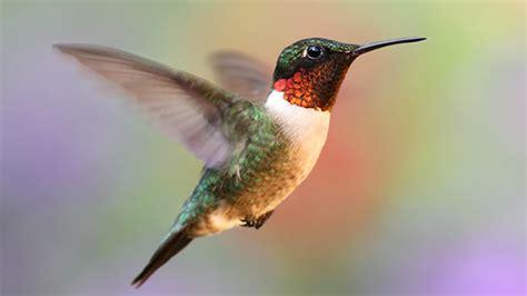 hummingbirds  migrating   area todays