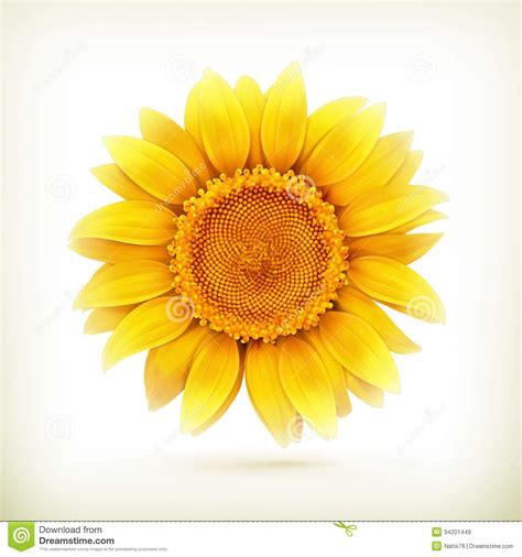 sunflower royalty  stock images image