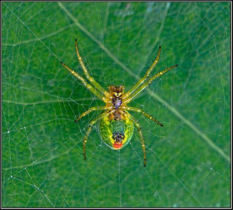 Yellow Garden Spider Uk Natureplus I D Help What Species Of Spider